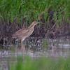 American Bittern <br /> Wise Road <br /> Riverlands Migratory Bird Sanctuary