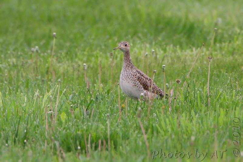 Upland Sandpiper <br /> Wise Road <br /> Riverlands Migratory Bird Sanctuary