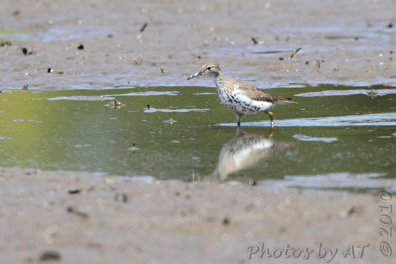 Spotted Sandpiper <br /> Hwy B at Hughes Park Road <br /> St. Charles County