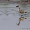 Lesser Yellowlegs <br /> Hwy B at Hughes Park Road <br /> St. Charles County