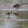 Least Sandpiper <br /> Hwy B at Hughes Park Road <br /> St. Charles County