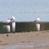 Caspian Tern and Ringed-bill Gulls <br /> Firma Road St. Charles County