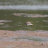 Semipalmated Plover <br /> Firma Road St. Charles County