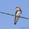 Bank Swallow  <br /> Peruque Creek Road St. Charles County