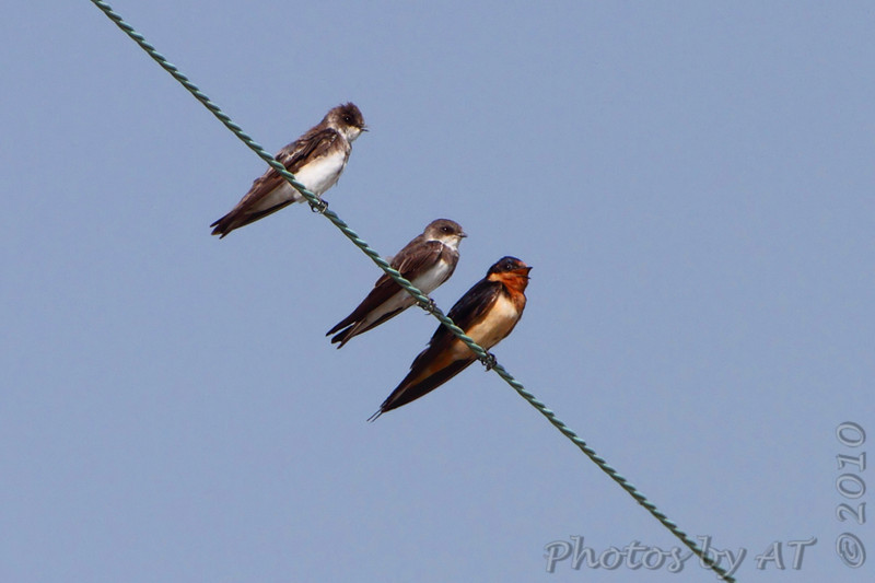 Bank Swallows and Barn Swallow <br /> Peruque Creek Road St. Charles County