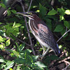 Green Heron   <br /> Peruque Creek Road St. Charles County