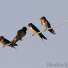 Barn Swallows <br /> Firma Road St. Charles County