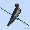 Purple Martin <br /> Peruque Creek Road St. Charles County