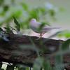 Albino House Sparrow <br /> Florissant Mo.