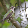 Ruby-throated Hummingbird <br /> Florissant Mo.