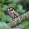Eurasian Tree Sparrow <br /> Florissant Mo.
