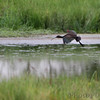 White-faced Ibis <br /> Clarence Cannon National Wildlife Refuge