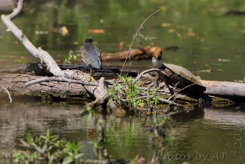 Green Heron <br /> Columbia Bottom Conservation Area <br /> 2010-08-25
