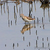 Least Sandpiper <br /> Dalbow Road St. Charles Co.
