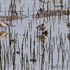 Least Sandpipers <br /> Dalbow Road St. Charles Co.