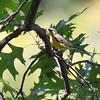 Magnolia Warbler <br /> City of Bridgeton <br /> St. Louis County, Missouri <br /> 2010-08-27
