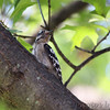 Downy Woodpecker <br /> City of Bridgeton <br /> St. Louis County, Missouri <br /> 2010-08-04