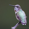 Ruby-throated Hummingbird <br /> City of Bridgeton <br /> St. Louis County, Missouri <br /> 2010-08-30