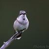 Ruby-throated Hummingbird <br /> City of Bridgeton <br /> St. Louis County, Missouri <br /> 2010-08-30