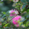 Ruby-throated Hummingbird <br /> City of Bridgeton <br /> St. Louis County, Missouri <br /> 2010-08-24