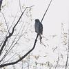 Red-shouldered Hawk <br /> Maple Island Road <br /> Riverlands Migratory Bird Sanctuary