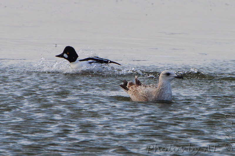Heron Gull and Canvasback <br /> Ellis Bay <br /> Riverlands Migratory Bird Sanctuary