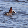 Common Goldeneye and Canvasback <br /> Ellis Bay <br /> Riverlands Migratory Bird Sanctuary