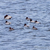 Canvasback <br /> Ellis Bay <br /> Riverlands Migratory Bird Sanctuary