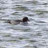 Common Goldeneye <br /> Ellis Bay <br /> Riverlands Migratory Bird Sanctuary