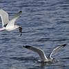 Ring-billed Gulls <br /> Riverlands Migratory Bird Sanctuary