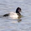 Lesser Scaup <br /> Riverlands Migratory Bird Sanctuary