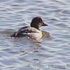 Common Goldeneye <br /> Riverlands Migratory Bird Sanctuary