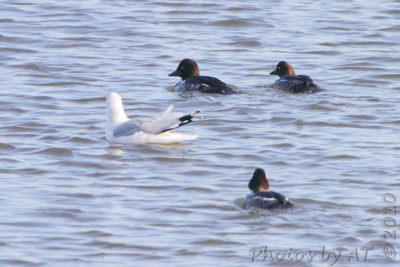 Common Goldeneye and Ring-billed Gull <br /> Riverlands Migratory Bird Sanctuary