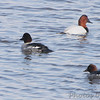 Common Goldeneye and Canvasback <br /> Riverlands Migratory Bird Sanctuary