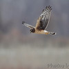 Northern Harrier <br /> Confluence Point State Park