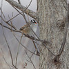 White-crowned Sparrow   <br /> Confluence Point State Park