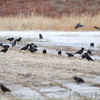 American Crows <br /> Columbia Bottom Conservation Area