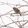 American Tree Sparrow <br /> Columbia Bottom Conservation Area
