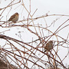 White-crowned Sparrow? and American Tree Sparrow <br /> Columbia Bottom Conservation Area