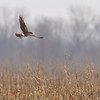 Northern Harrier <br /> Columbia Bottom Conservation Area