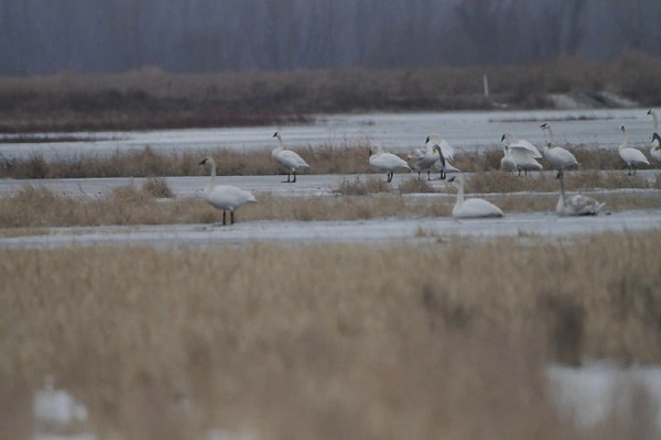 """Trumpeter Swans  <br> Columbia Bottom Conservation Area  <br><br><span class=""""noShowSmart""""> <a href=""""/MyKeywords/Bird-Videos/n-gF9bt/i-z9tFzS2/A""""> <span style=""""color:yellow"""">Click here to open video in lightbox/full screen</span></a> </span>  <span class=""""noShowGallery""""> <a href=""""/Birds/Birding-2010-December/2010-12-20-Columbia-Bottom-CA/i-z9tFzS2/A""""> <span style=""""color:yellow"""">Click here to open video in lightbox/full screen</span></a> </span>"""