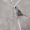 White-crowned Sparrow <br /> Columbia Bottom Conservation Area