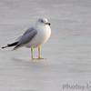 Ring-billed Gull  <br /> Ellis Bay <br /> Riverlands Migratory Bird Sanctuary
