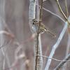 Savannah Sparrow <br /> Columbia Bottom Conservation Area