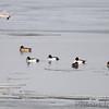 Common Goldeneye and Mallard <br /> Ellis Bay <br /> Riverlands Migratory Bird Sanctuary