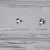 Common Goldeneye <br /> Ellis Bay <br /> Riverlands Migratory Bird Sanctuary