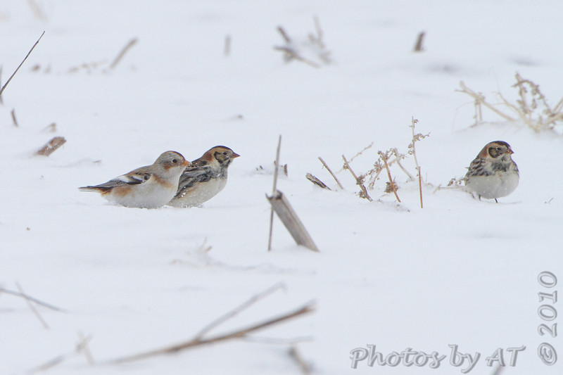 Snow Bunting and Lapland Longspur <br /> Road to Confluence Point State Park <br /> Just past first 90° curve