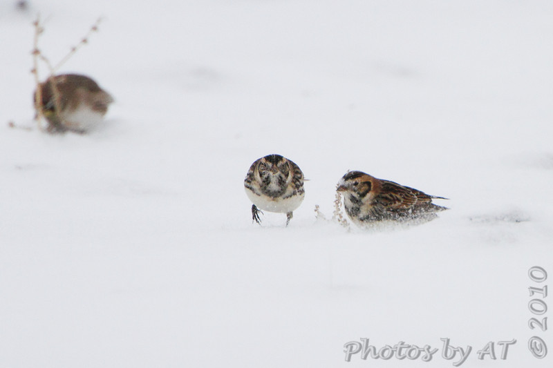 Lapland Longspurs <br /> Road to Confluence Point State Park <br /> Just past first 90° curve