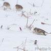 Snow Bunting <br /> Road to Confluence Point State Park <br /> Just past first 90° curve