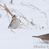 "Snow Bunting and Horned Lark <br /> Road to Confluence Point State Park <br /> at ""S"" curve"